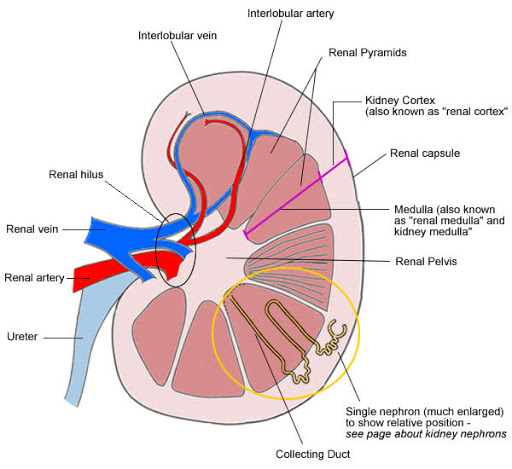 Ultrasound Diagnosis of Renal Column Hypertrophy