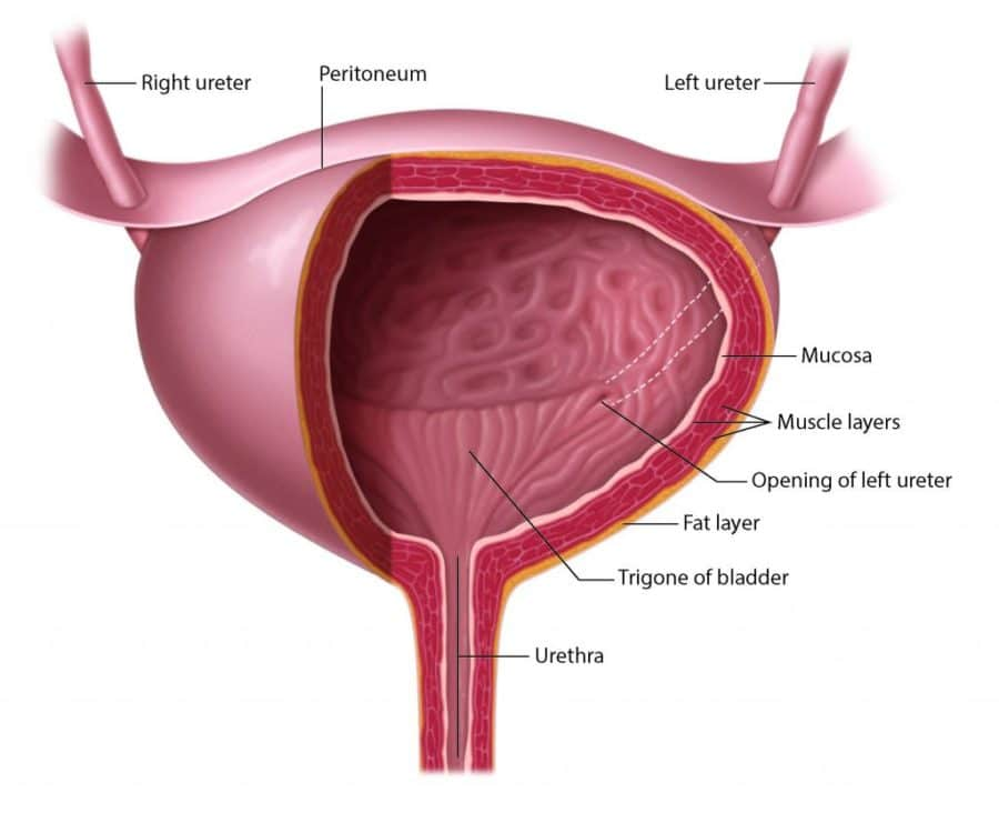 Bladder_anatomy